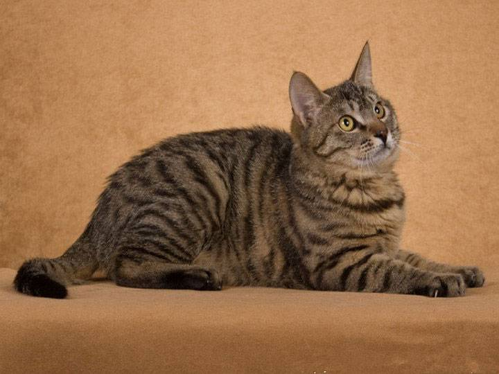 Кошачья экзотика — китайская кошка дракон ли хуа