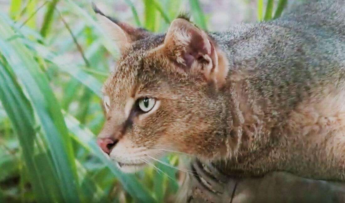 Камышовый (болотный) кот: описание внешнего вида, характера, образа жизни, фото кошки