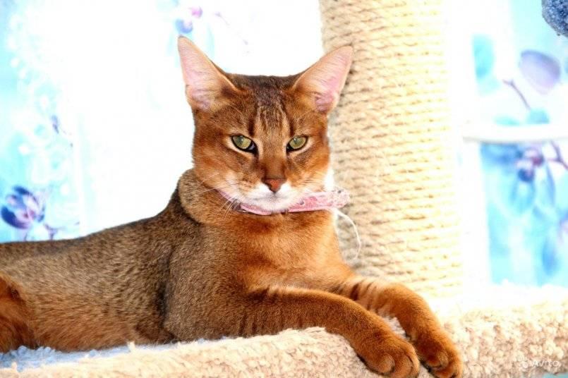 Абиссинская кошка: изящный и умный компаньон