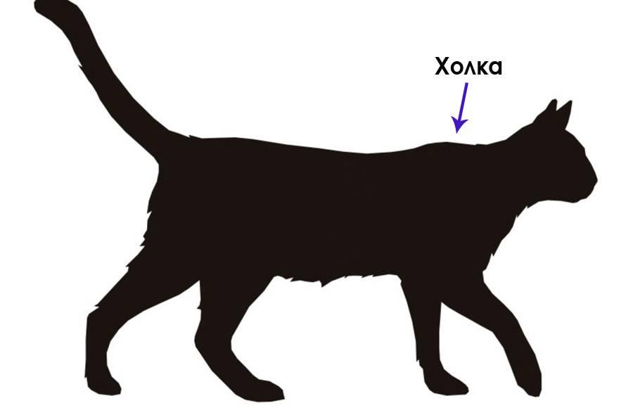 Что такое холка, где она находится у кошек и как ее найти: фото и описание
