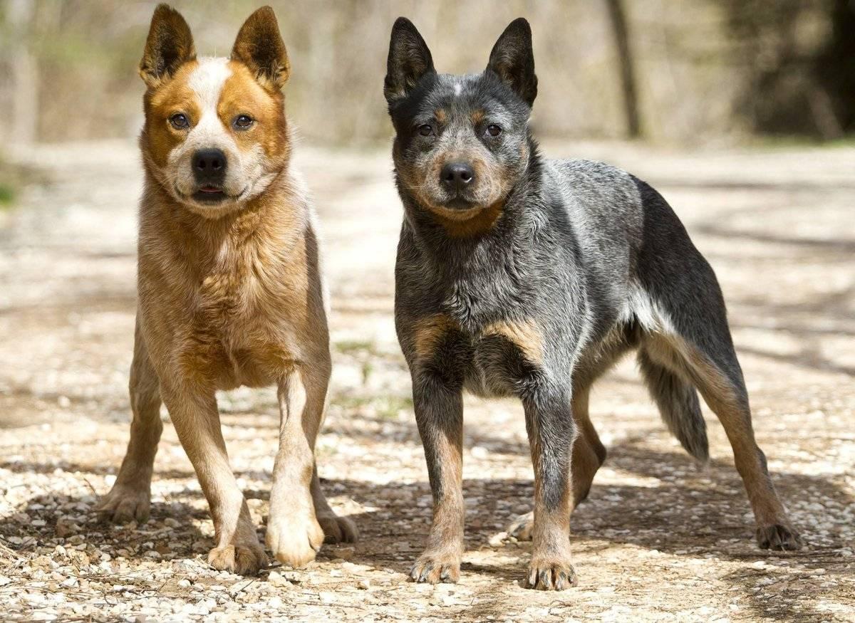 Голубой хилер (австралийский кеттл дог): особенности ухода за собакой для перегона скота