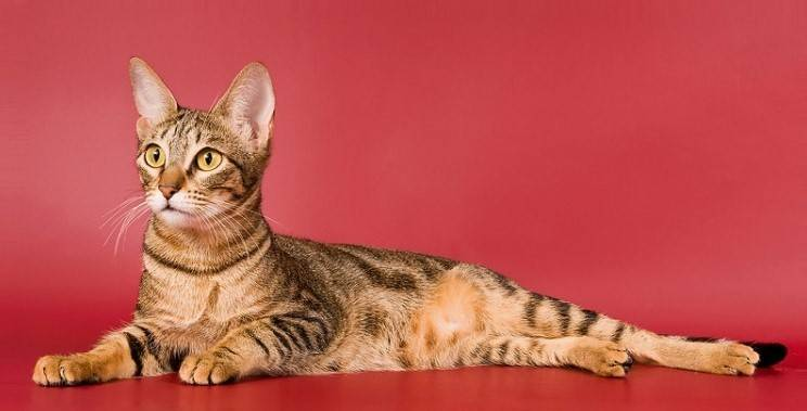 Сококе - описание породы и характер кошки