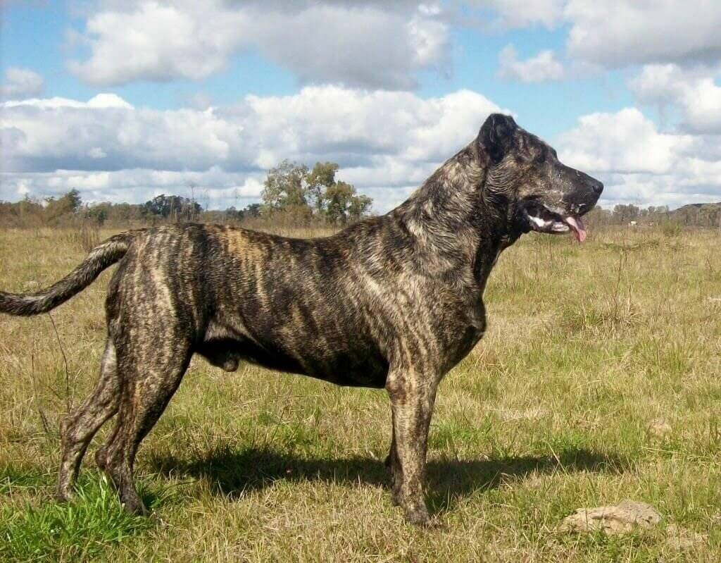 Уругвайский симаррон (уругвайская дикая собака, симаррон)
