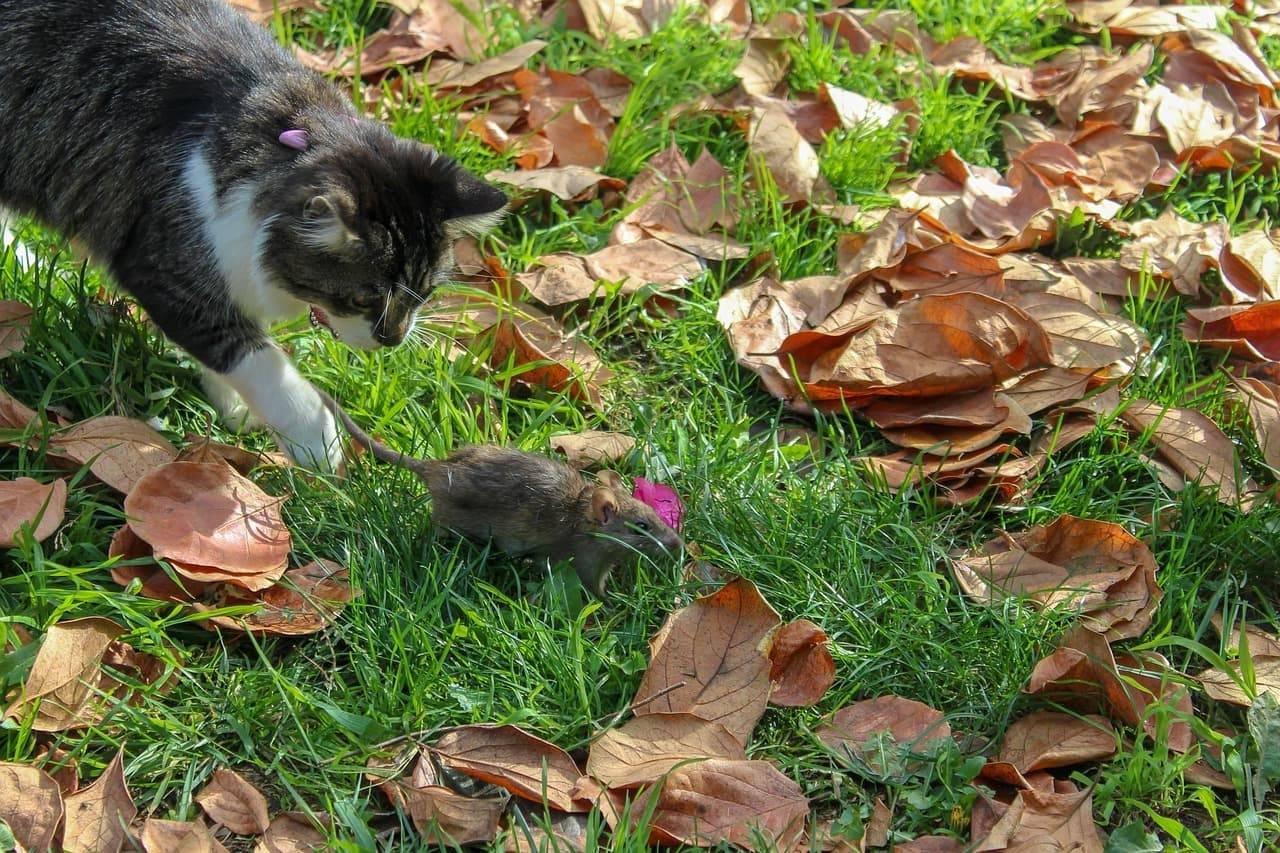 Кошки-крысоловы: популярные породы и их содержание