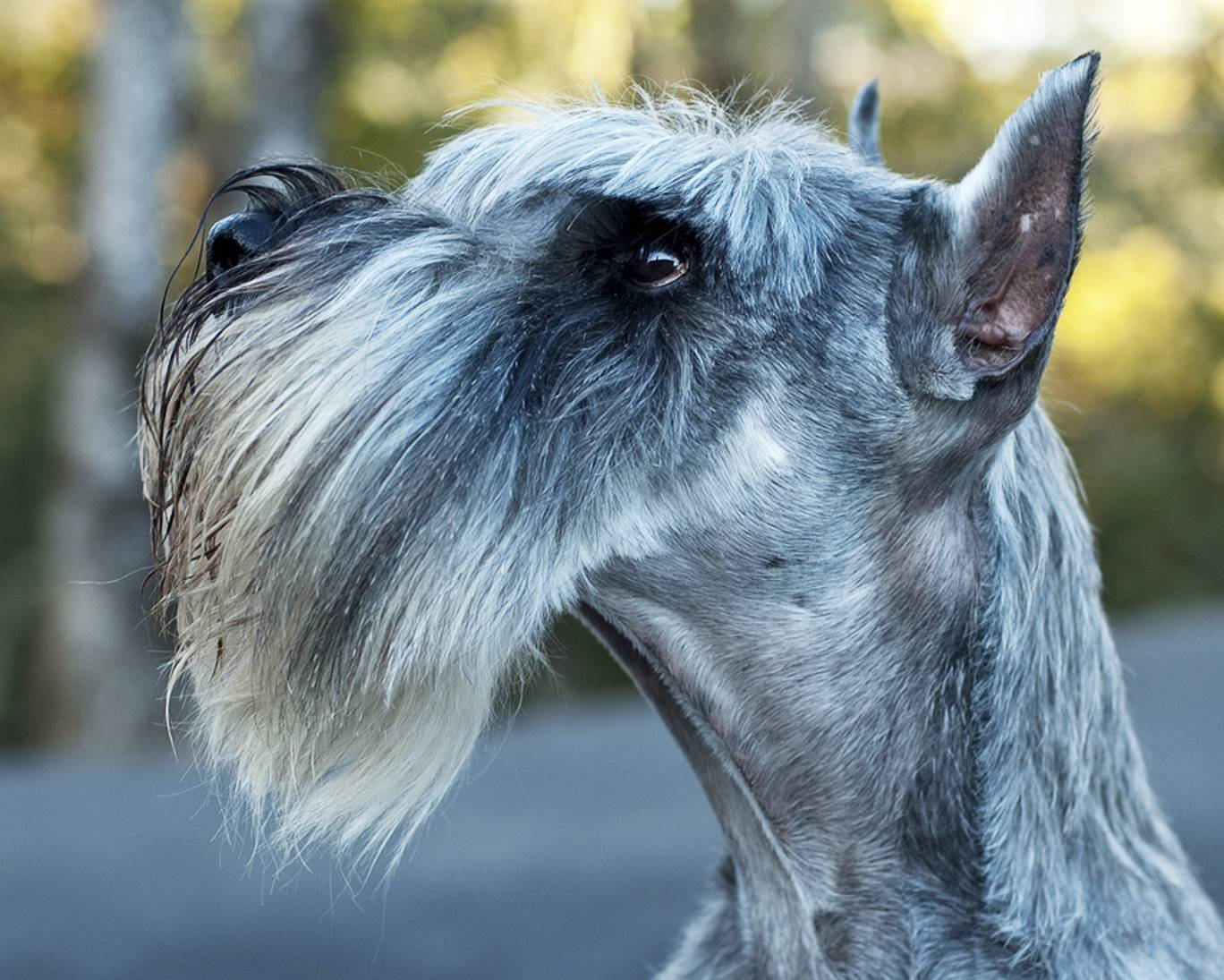 Все о шнауцерах: характеристики собак, особенности содержания цвергшнауцеров