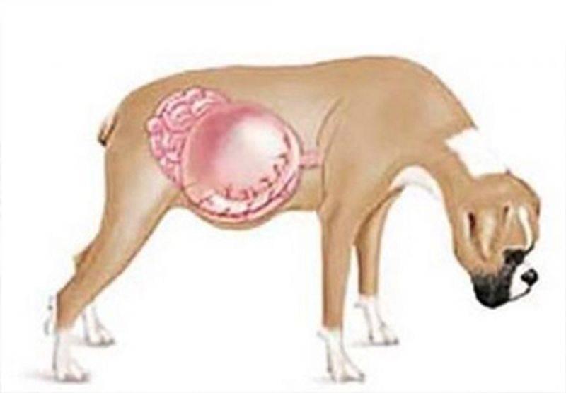 Почему возникает заворот кишок у собаки.симптомы.профилактика.(wolcha.ru)