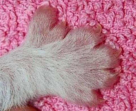 Сколько пальцев у кошек на передних и задних лапах