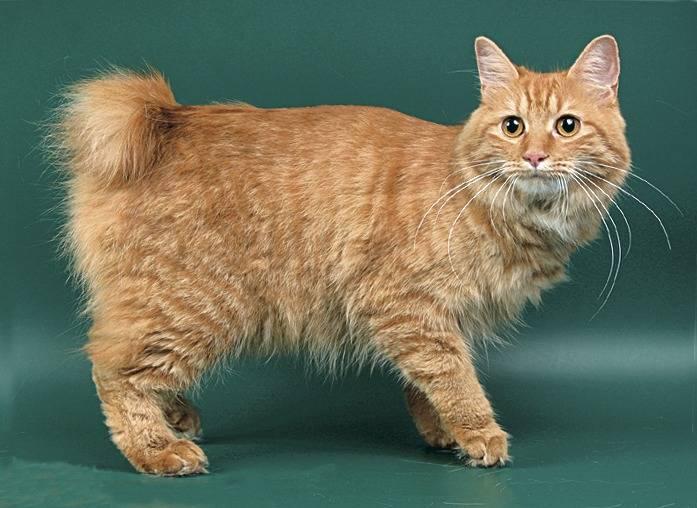 Бесхвостые кошки мэнкс: всё самое интересное