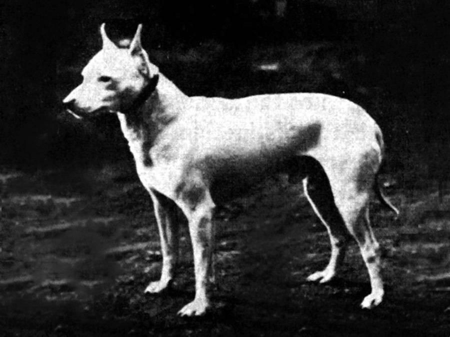 Вымершие породы собак — каких псов уже не существует