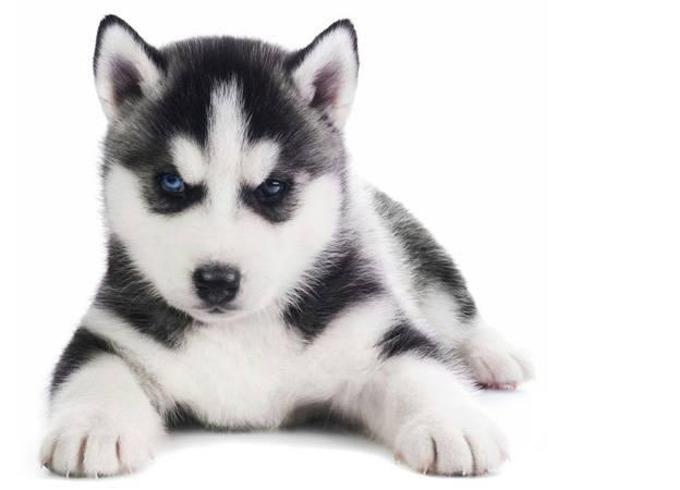 Хаски в квартире: как ухаживать за активной ездовой собакой дома
