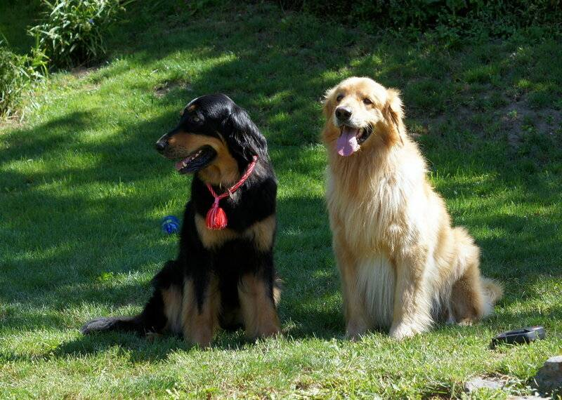 Особенности характера породы собак ховаварт