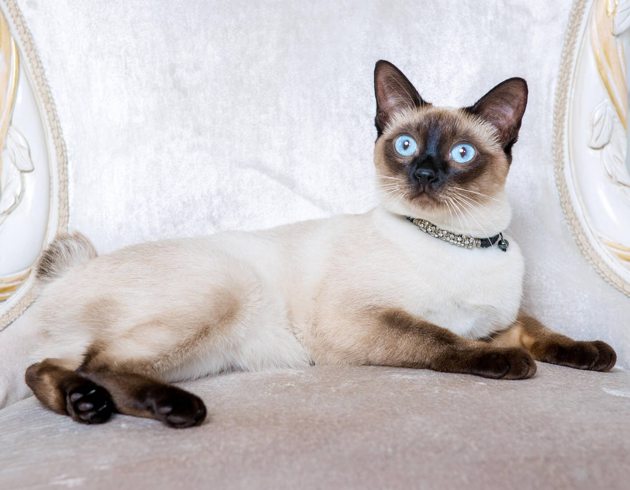 Меконгский бобтейл. о породе кошек: описание породы меконгский бобтейл, цены, фото, уход