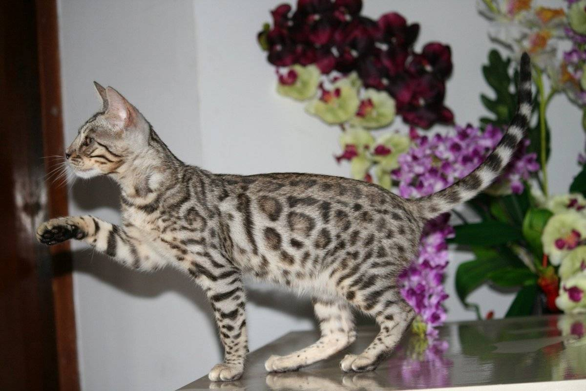Бенгальская кошка (домашняя) кошка: подробное описание, фото, купить, видео, цена, содержание дома