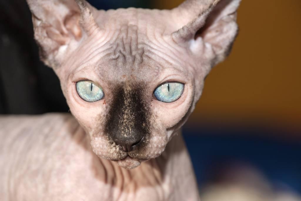 Сфинкс канадский: все о породе кошек