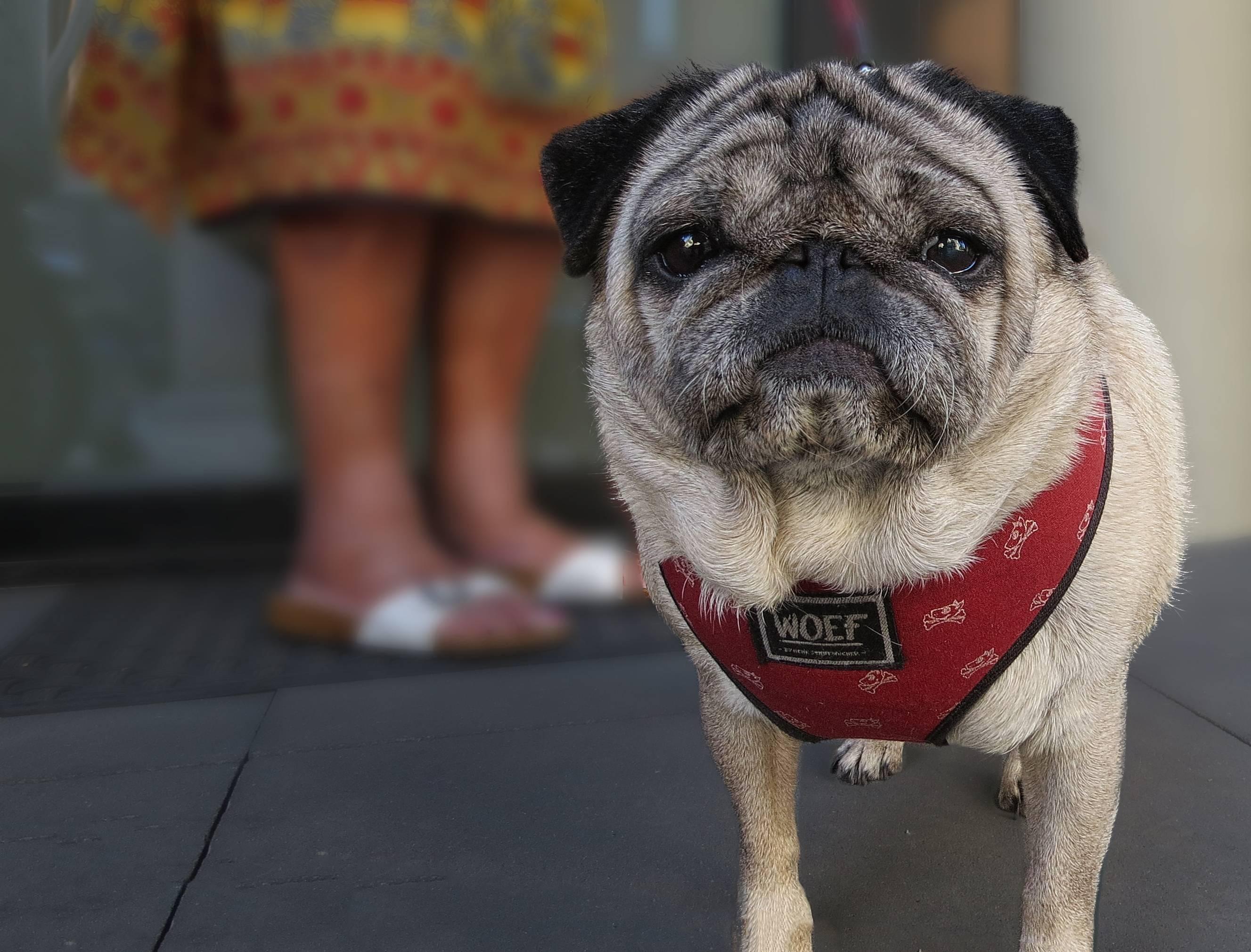 Клички для мопсов мальчиков и девочек: как назвать собаку, правила и рекомендации по выбору имени, а также самые популярные, красивые и веселые варианты