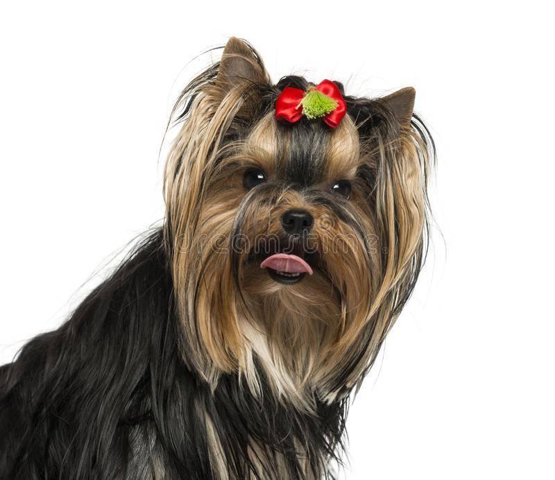 По каким причинам собака высовывает язык?