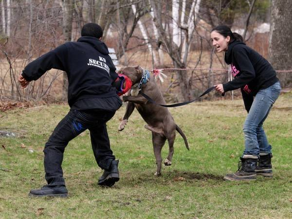 Как дрессировать щенка питбуля (с иллюстрациями)