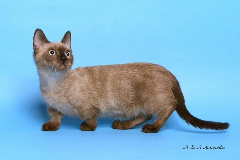 Манчкин — порода кошек с короткими лапками: описание, характер и уход