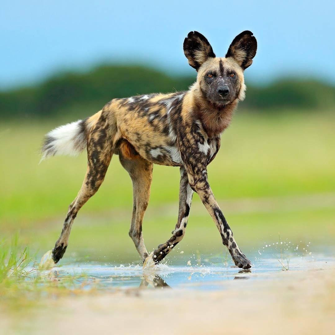 Гиеновидная собака — википедия
