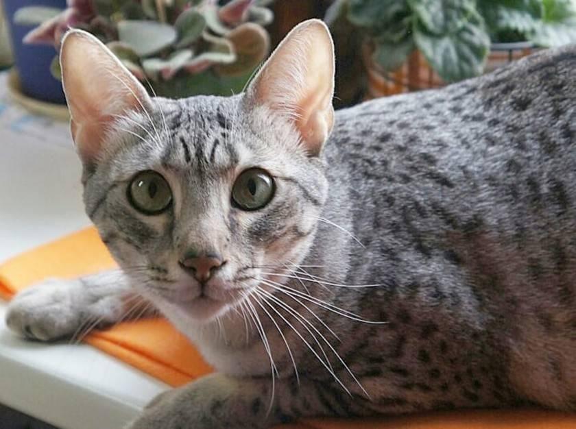 Египетская мау — кошка которая никого не оставит равнодушным! шикарный внешний вид и прекрасный характер, более подробно читайте в статье!