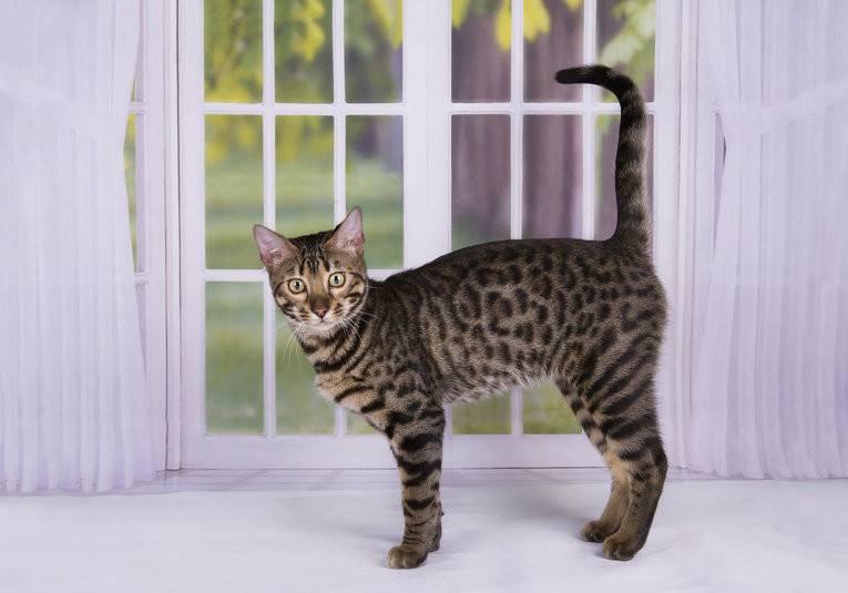 Экзотическая кошка (перс экзот): фото, характеристика породы, короткошерстная, длинношерстная, особенности, характер, уход