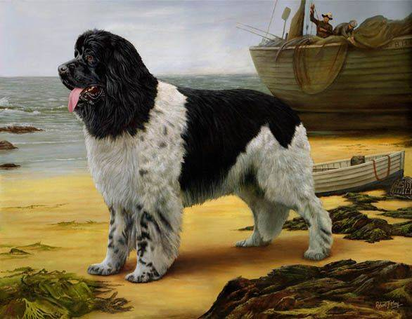 Ландсир, описание и характеристика породы собак