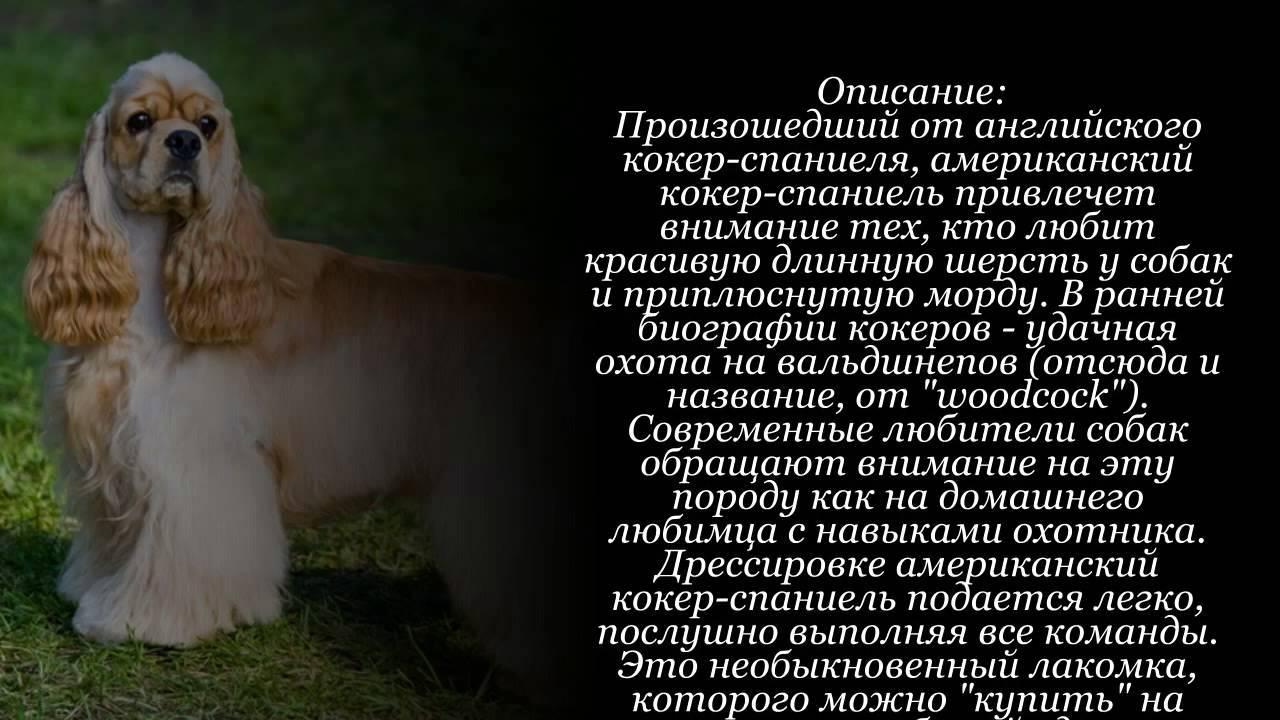 Русский охотничий спаниель (80 фото): характеристика породы, описание характера щенков и особенности ухода за собаками, рыжие и коричневые окрасы, отзывы
