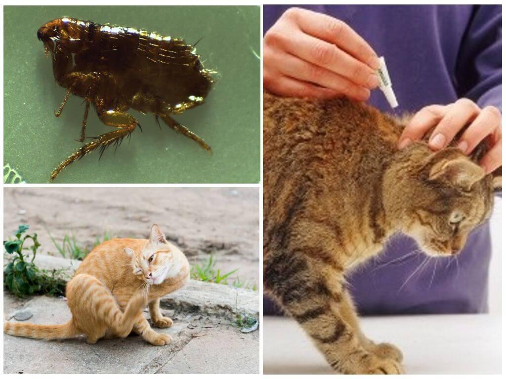 Как вывести блох у кошки, избавить кота от блох в домашних условиях народными средствами, чем помыть