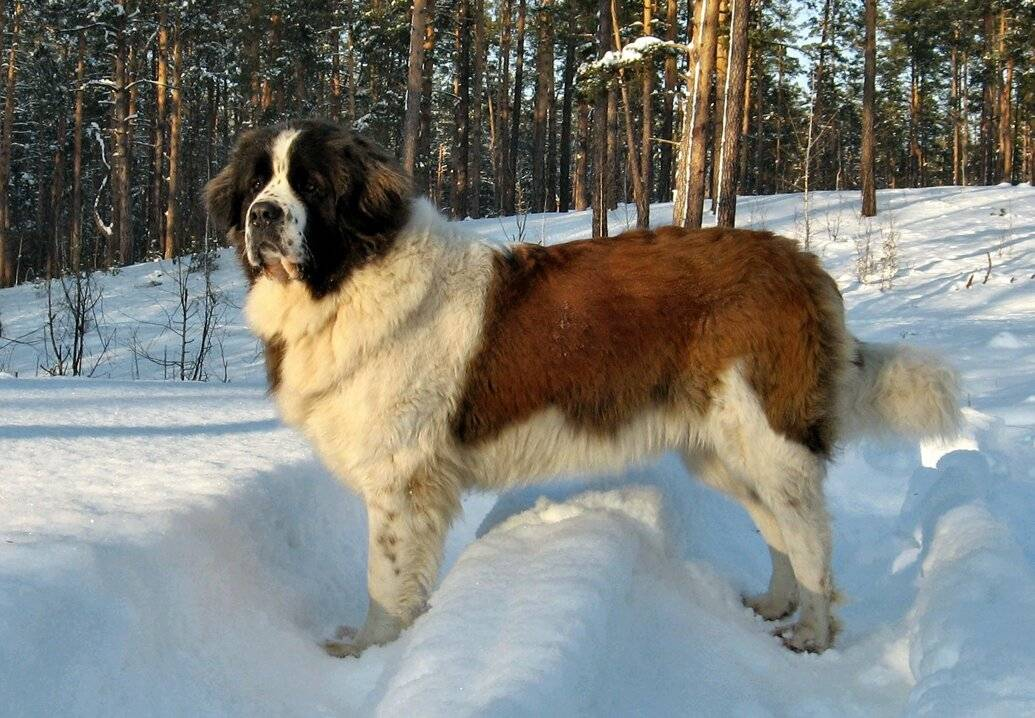 Московская сторожевая собака: описание породы, щенки и клички.