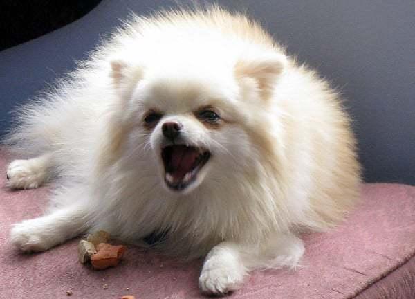 Кормление шпица: правила составления рациона для щенков и взрослых собак