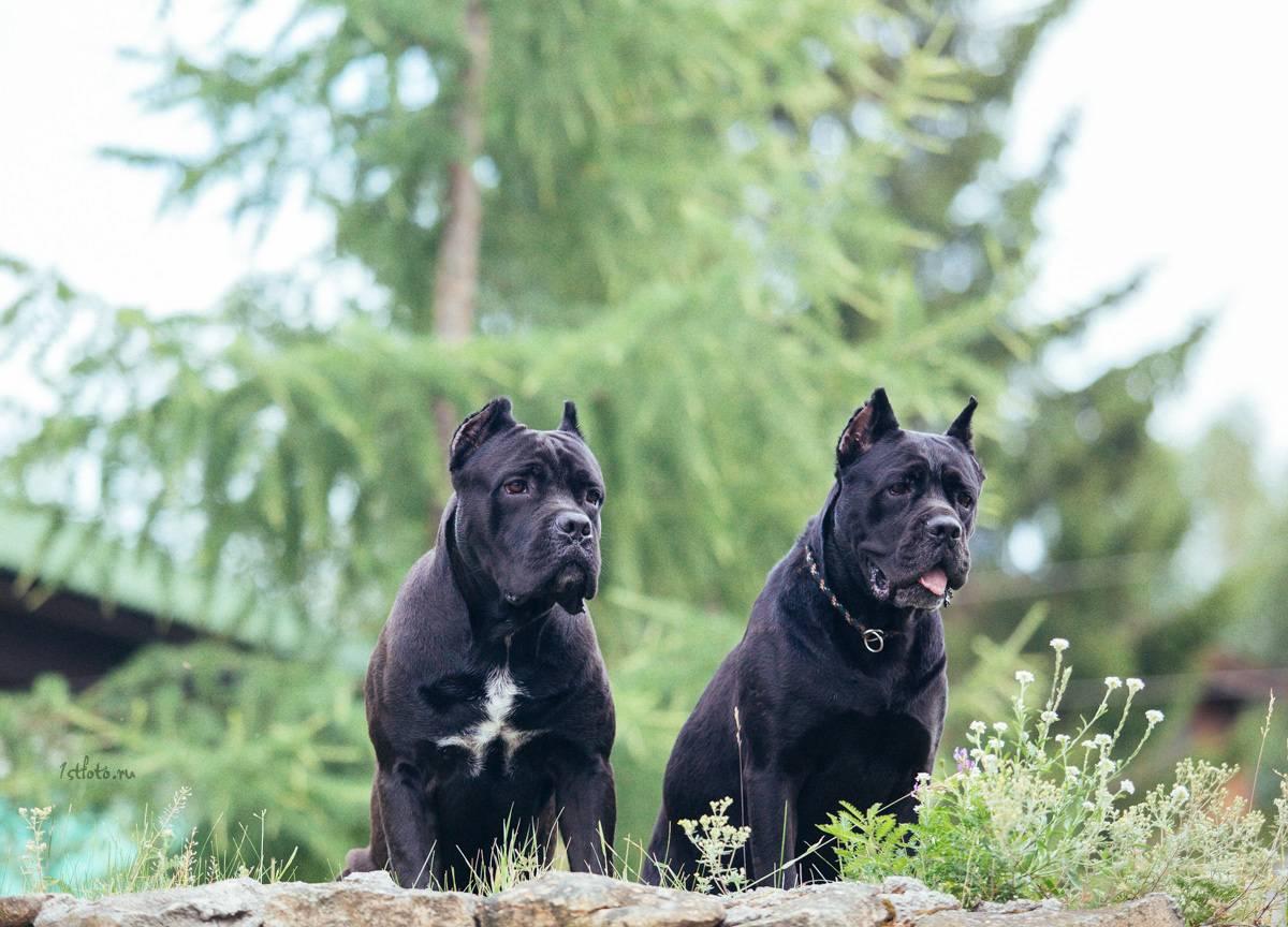 Кане корсо: отзывы владельцев отрицательные и положительные, а также особенности породы и характер собак итальяно