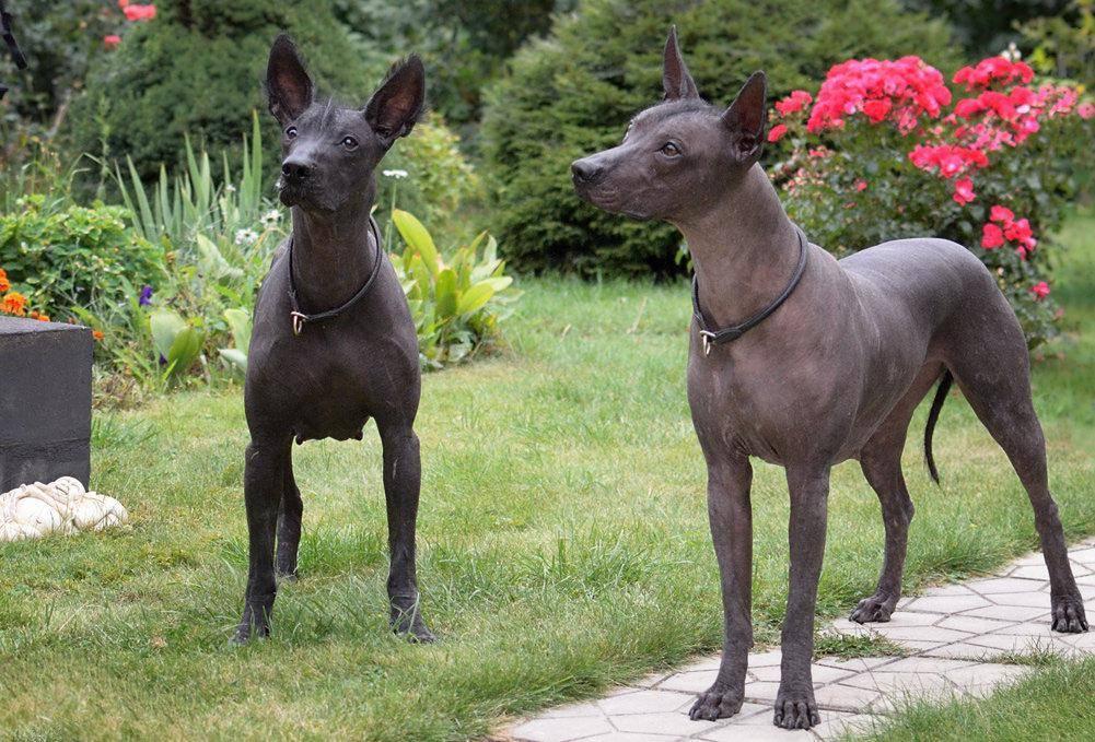 Мексиканская голая собака (ксолоитцкуинтле) — описание породы (с фото) | все о собаках