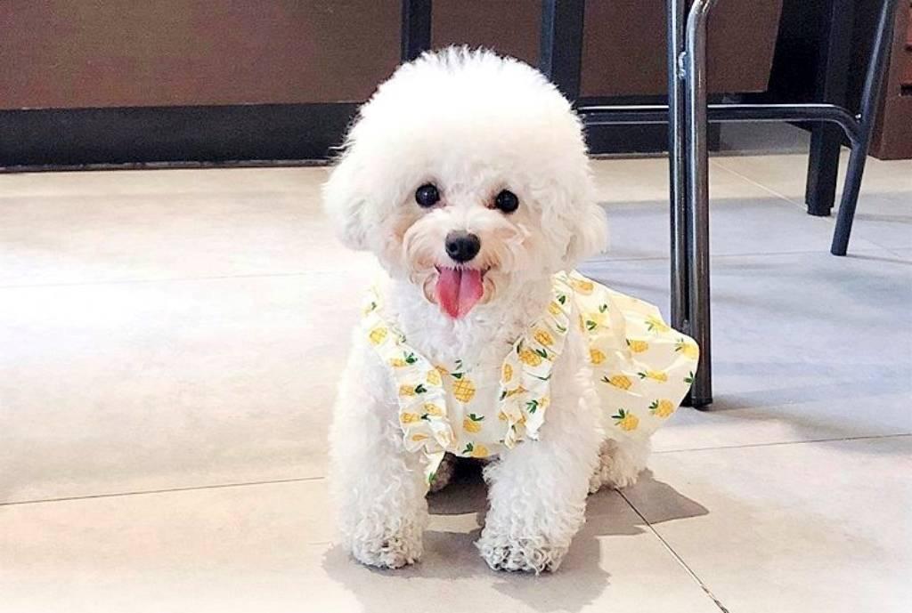 """Собака бишон фризе: описание породы, характер, болезни, уход   блог ветклиники """"беланта"""""""