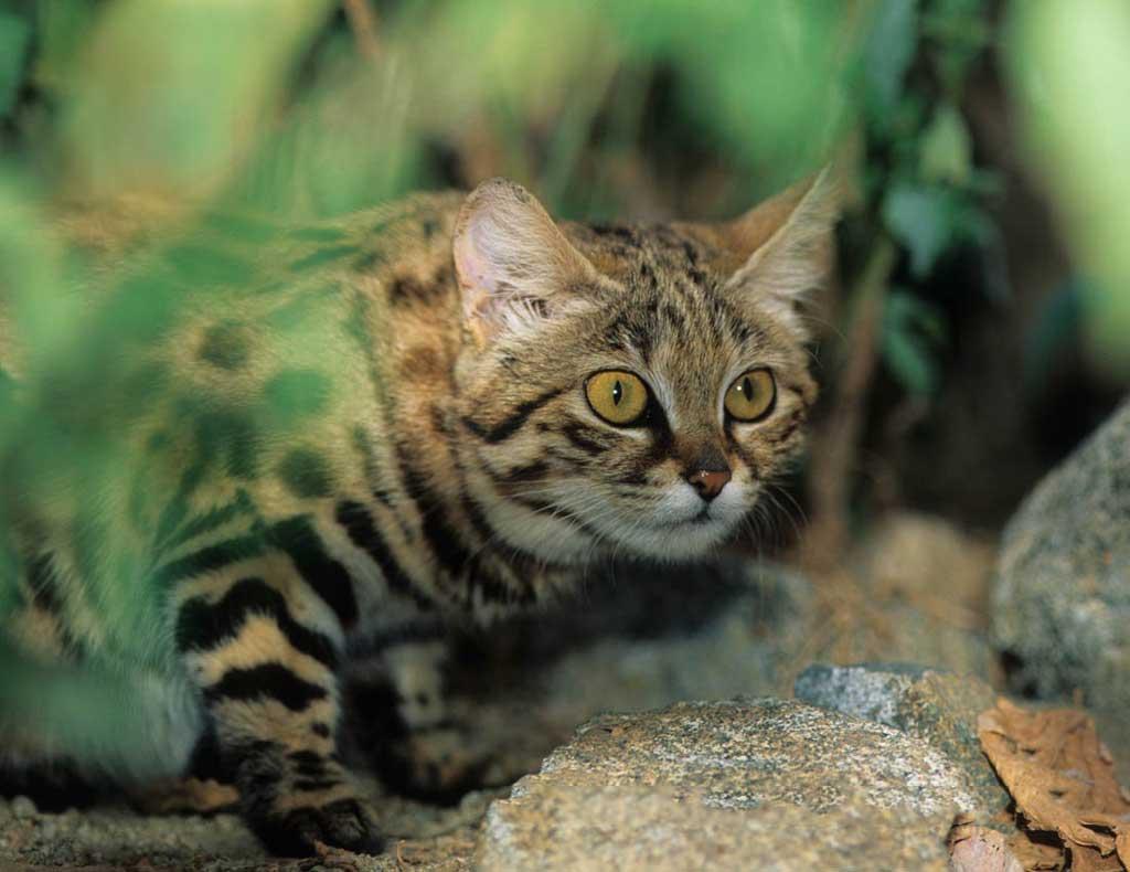 Черноногая кошка. маленькая дикая хищница: характеристики и цена на породу