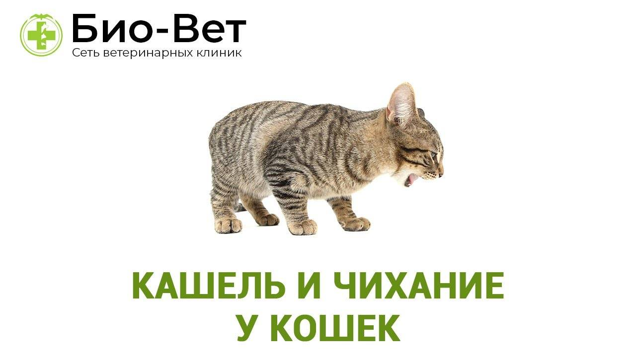 Кот кашляет: виды и причины кашля, что делать, если кошка будто подавилась и хочет вырвать, хрипит, вытягиваясь и прижимаясь к полу