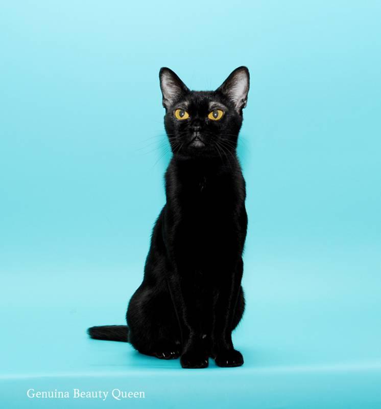 Бомбейская кошка. описание, особенности, цена и уход за бомбейской кошкой