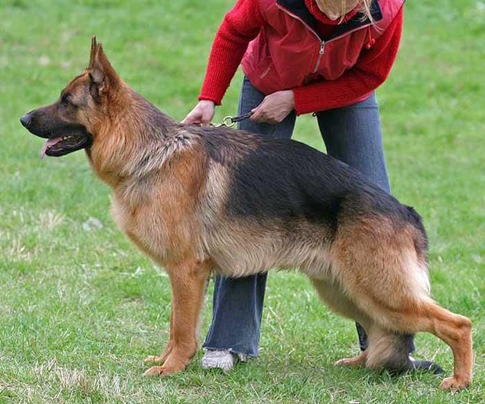 Дрессировка и обучение немецкой овчарки