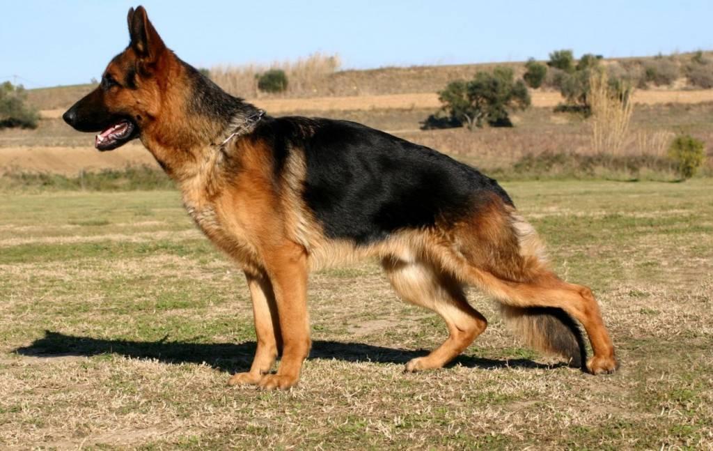 Немецкая овчарка: отзывы владельцев о содержании собаки в квартире, а также кого лучше выбрать мальчика или девочку