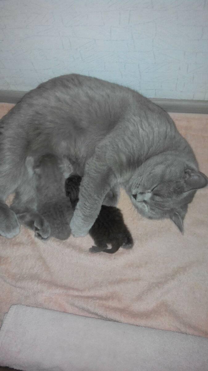 Первая течка у кошек - как понять и успокоить, сколько длится дней