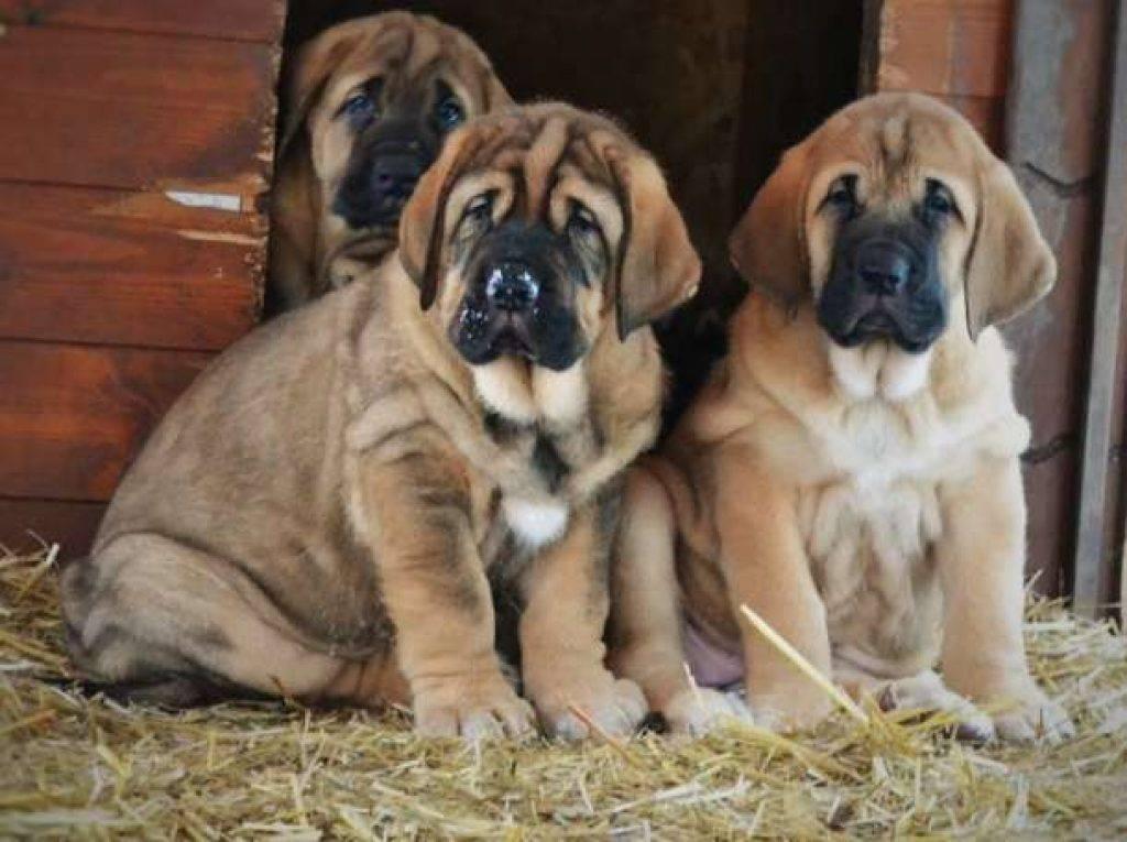 Испанский мастиф: все о собаке, фото, описание породы, характер, цена