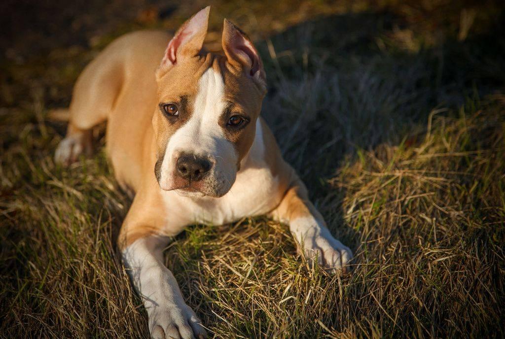 Купирование хвостов у собак: щенку, взрослой собаке, особенности и цена процедуры