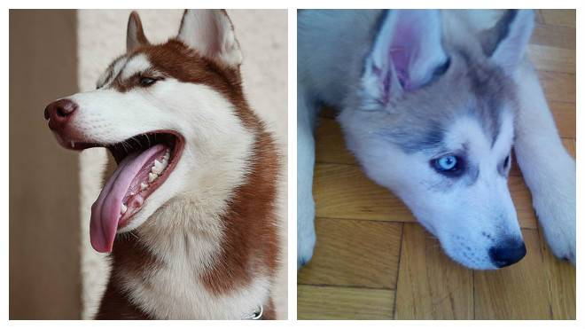 Хаски: отзывы владельцев о содержании в квартире и в частных домах, а также можно ли держать породу собак на цепи