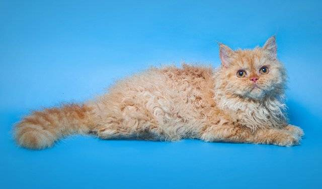 Кошки немецкий рекс: описание внешности и характера, уход за питомцем и его содержание, выбор котёнка, отзывы владельцев, фото кота