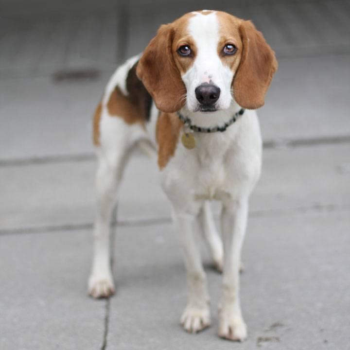 Фоксхаунды (30 фото): описание английских и американских фоксхаундов, особенности пород и характера собак