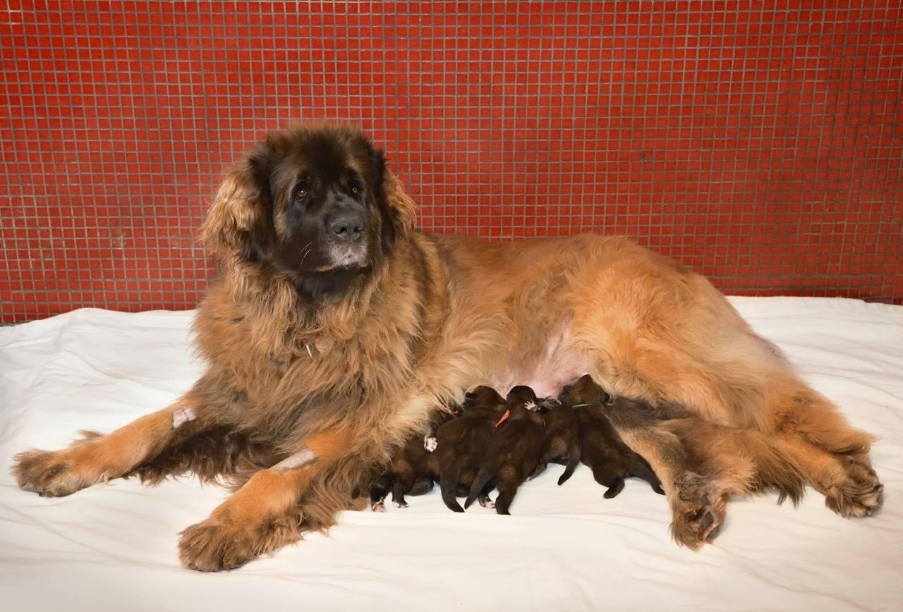 Леонбергер — домашний лев из мира собак