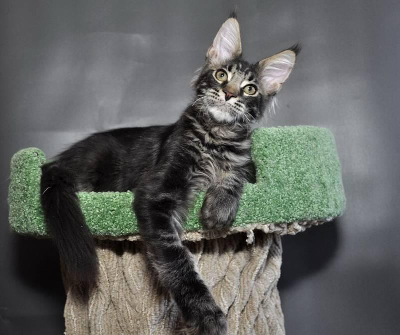 Как назвать мейн куна мальчика — имя для кошки мэйкун