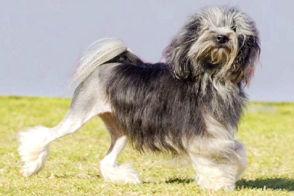 Лион бишон (30 фото): характеристика малых львиных собак, интересные факты о породе, варианты стрижек для левхенов