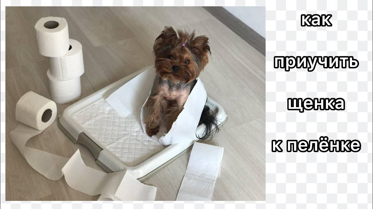 Как приучить щенка ходить в туалет на пеленку — этапы обучения ⋆ собакапедия