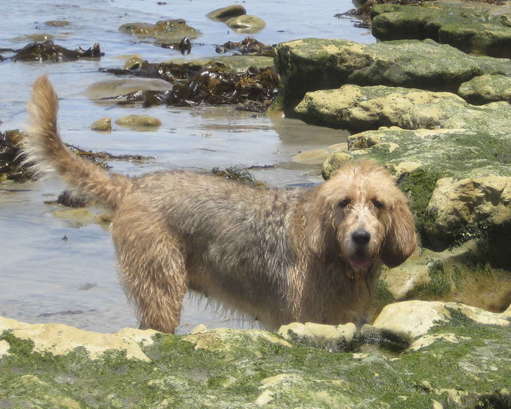 Оттерхаунд собака. описание, особенности, характер, уход и цена породы оттерхаунд | животный мир