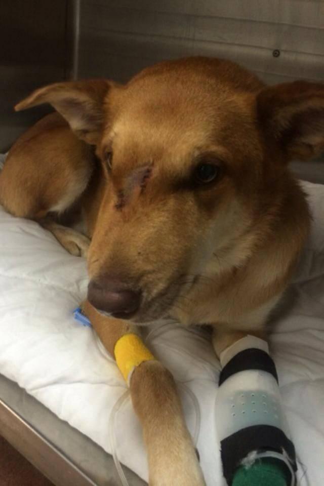 Если собаку укусила оса (в морду, язык, губу, лапу) — что делать | все о собаках